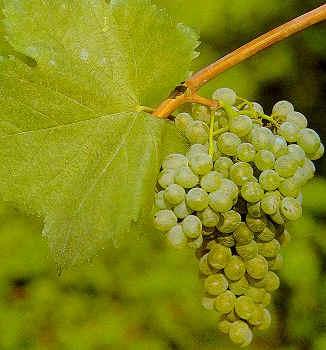 Falanghina the grape