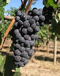 Pinot Noir grapes from Chehalem